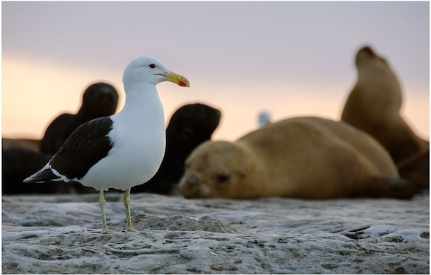 A gull and a sea lion relaxing on a rock in Peninsula Valdes