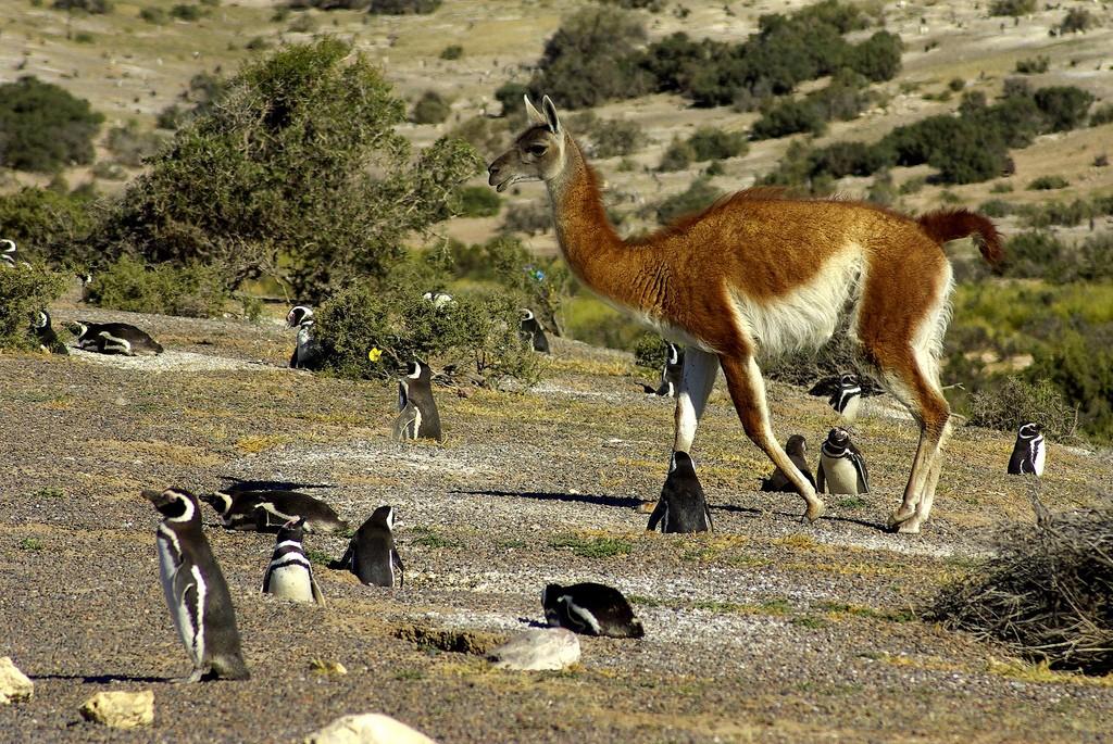 Un groupe de guanacos, présents à Puerto Madryn
