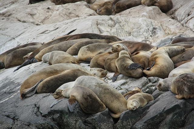 Un groupe de Lions de Mer avec le mâle au centre